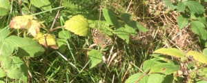 034 - speckled wood